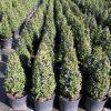 Buxus sempervirens cône cultivé en pot - 40-50-fr - c5-fr