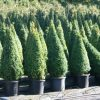 Buxus sempervirens cône cultivé en pot - 80-90-fr - c15-fr