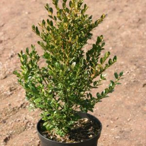 Buxus Green Gem Struik potgekweekt