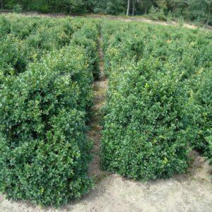 Buxus sempervirens Hermans Low 80-100