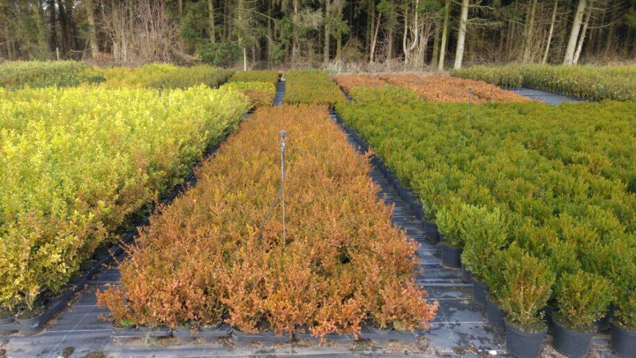 Herfstkleur bij buxussoorten