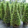 Taxus baccata kegel potgekweekt - 140-160 - c45