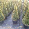 Taxus baccata kegel potgekweekt - 70-80 - c10