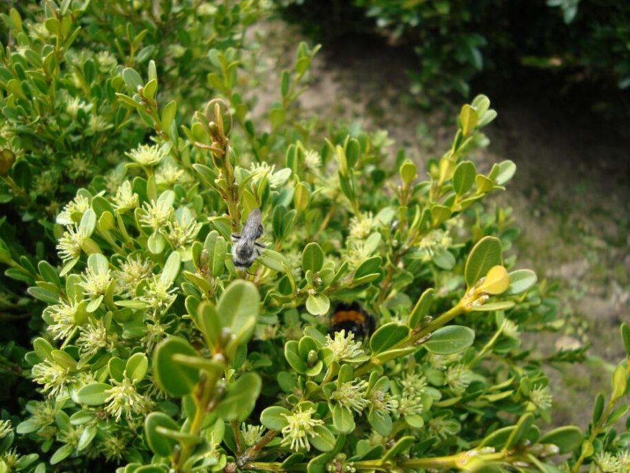 bloei koreana met insecten_small